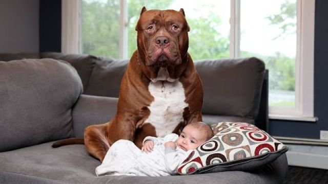 Dogs protecting Babies when Babies…